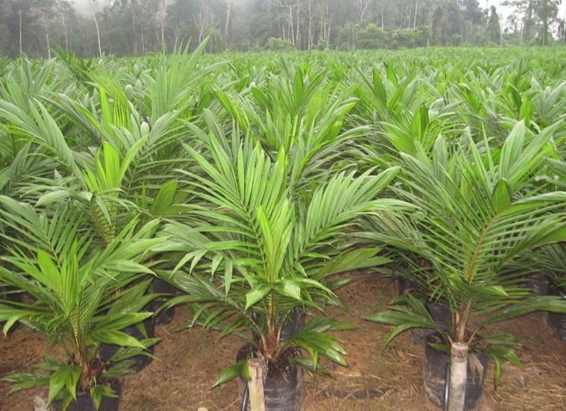 Banco noruego cancela sus inversiones en Alicorp por deforestación y violaciones de derechos humanos en la cadena de producción de aceite de palma